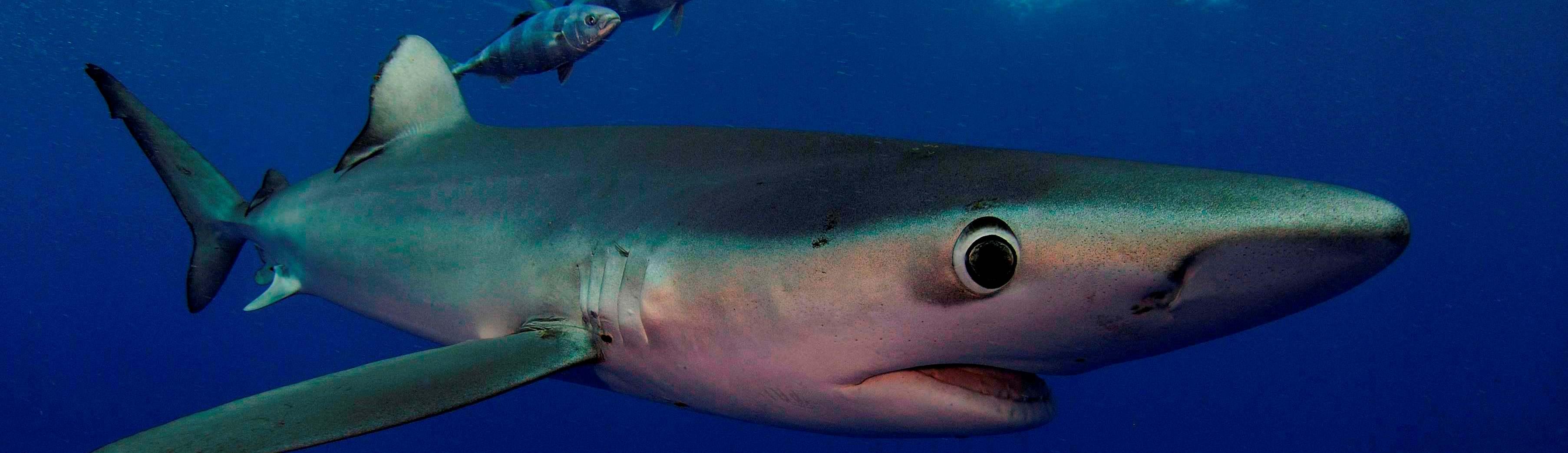 Blauwe-haai-Azoren1
